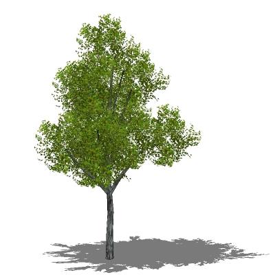 silver-birch-betula-pendula-foliage-configs_FF_Model_ID12544_2_FFVsb002_thumb